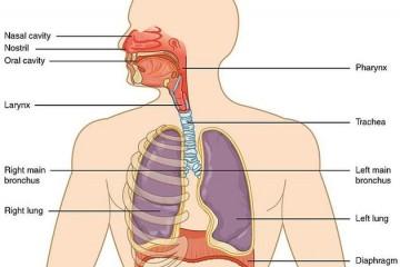 人体呼吸系统如何运行