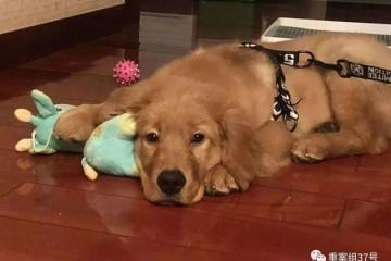 金毛犬Siri之死背后的宠物托运乱象空运改陆运违规代办检疫证